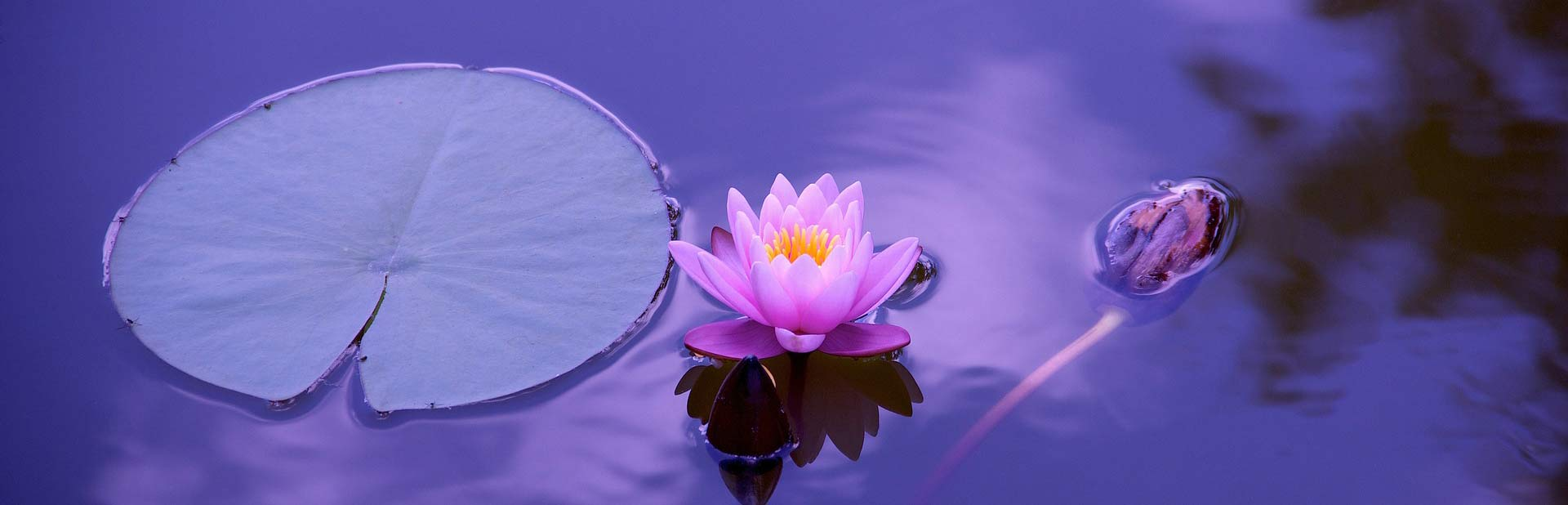 water-lilly-1205631_1920-crop
